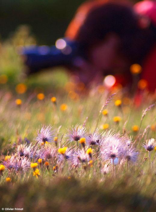olivier-frimat-phototheque-anemone-pulsatille